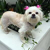 Adopt A Pet :: SCARLETT - Los Angeles, CA