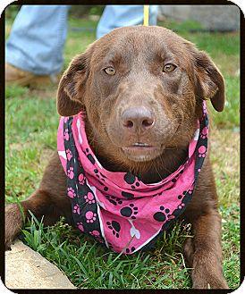 Labrador Retriever Mix Dog for adoption in Franklin, Tennessee - Molly