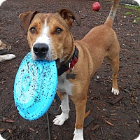 Adopt A Pet :: Cedar - Issaquah, WA
