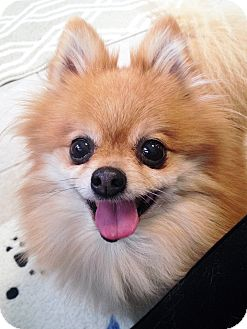 Pomeranian Dog for adoption in Fennville, Michigan - Sophie
