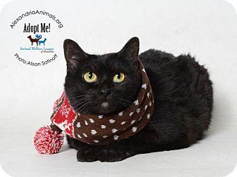 Domestic Shorthair Cat for adoption in Alexandria, Virginia - Bonnie