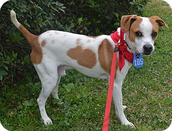 Hound (Unknown Type)/Terrier (Unknown Type, Small) Mix Dog for adoption in Beaumont, Texas - Linus