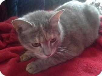 Domestic Shorthair Cat for adoption in Columbus, Ohio - Daisy