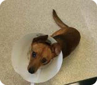 Dachshund/Chihuahua Mix Dog for adoption in Columbus, Georgia - bean 1401