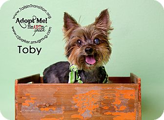 Yorkie, Yorkshire Terrier Mix Dog for adoption in Friendswood, Texas - Toby