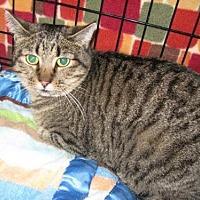 Domestic Shorthair Cat for adoption in Logan, Utah - Georgia