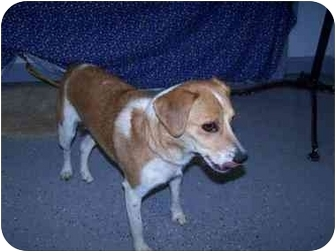 Beagle Dog for adoption in New Carlisle, Indiana - June Cleaver