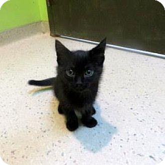Domestic Shorthair Kitten for adoption in Janesville, Wisconsin - Slick