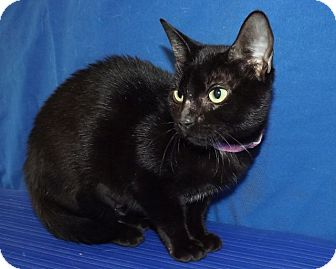 Domestic Shorthair Cat for adoption in LAFAYETTE, Louisiana - ARAGON