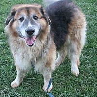 Adopt A Pet :: Bear - Oberlin, OH