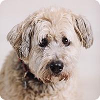 Adopt A Pet :: Silky - Portland, OR