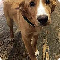 Adopt A Pet :: Checkers - BIRMINGHAM, AL