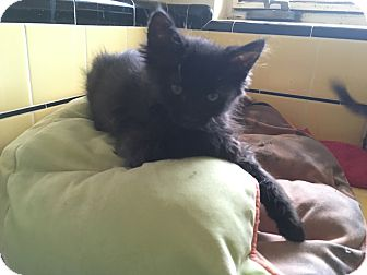 Domestic Shorthair Kitten for adoption in Mission Viejo, California - Gus