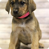 Adopt A Pet :: Persian - Waldorf, MD