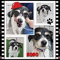 Adopt A Pet :: Bobo (CP) - Dallas, TX