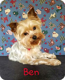 Yorkie, Yorkshire Terrier Mix Dog for adoption in Vancouver, British Columbia - Ben