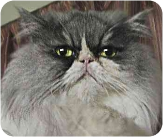 Persian Cat for adoption in Davis, California - Madison