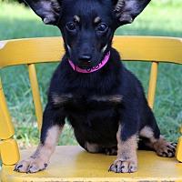 Adopt A Pet :: Snickers - Waldorf, MD
