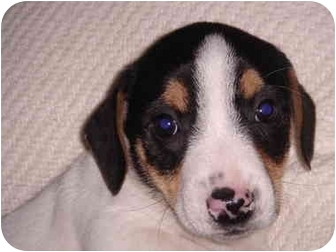 Jack Russell Terrier Puppy for adoption in Manahawkin, New Jersey - Boomer*Adopted