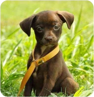 Terrier (Unknown Type, Small) Mix Puppy for adoption in Portsmouth, Rhode Island - Molly