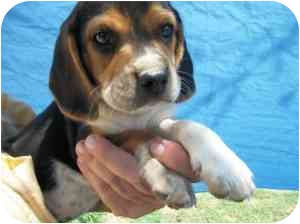Beagle Puppy for adoption in Lonedell, Missouri - Nebo 5