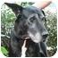 Photo 3 - Great Dane Dog for adoption in Poway, California - Lola