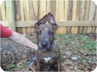 American Pit Bull Terrier Mix Puppy for adoption in Weeki Wachee, Florida - Smokey