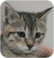 Domestic Shorthair Kitten for adoption in Wheaton, Illinois - PJ