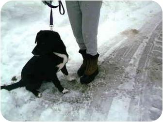 Border Collie/Labrador Retriever Mix Puppy for adoption in Kellogg, Idaho - Syringa