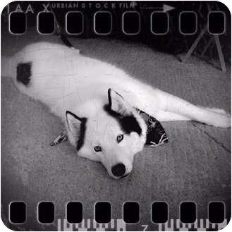 Husky Dog for adoption in Belleville, Michigan - Loki