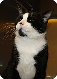 Domestic Shorthair Cat for adoption in Schertz, Texas - Gilbert