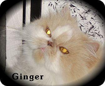 Persian Cat for adoption in Beverly Hills, California - Ginger (Front Paw Declaw)