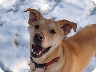 Labrador Retriever Mix Puppy for adoption in Toronto/Etobicoke/GTA, Ontario - HarleyADOPTION PENDING!!!!