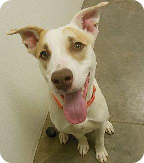 Labrador Retriever Mix Dog for adoption in Phoenix, Arizona - Zane