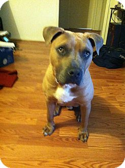 American Pit Bull Terrier/Boxer Mix Dog for adoption in Santa Monica, California - Harlem