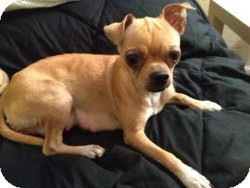 Chihuahua/Pug Mix Dog for adoption in Mesa, Arizona - Lulu