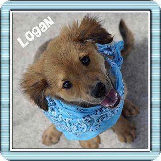 Collie Mix Puppy for adoption in Corpus Christi, Texas - Logan