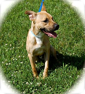 Labrador Retriever/Black Mouth Cur Mix Puppy for adoption in Ijamsville, Maryland - Clayton