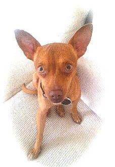 Miniature Pinscher/Chihuahua Mix Dog for adoption in calimesa, California - REX