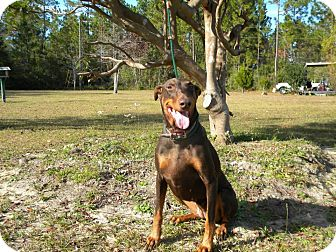 Doberman Pinscher Mix Dog for adoption in SOUTHINGTON, Connecticut - Reese