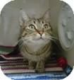 Domestic Shorthair Cat for adoption in Morden, Manitoba - RAZZ