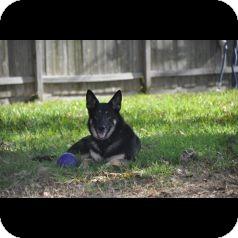 German Shepherd Dog Dog for adoption in Houston, Texas - Addie