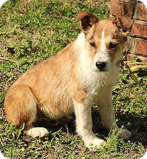 Irish Terrier Mix Puppy for adoption in Allentown, Pennsylvania - Egan
