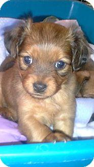 Shih Tzu/Terrier (Unknown Type, Medium) Mix Puppy for adoption in Glastonbury, Connecticut - Bridget