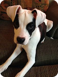 American Staffordshire Terrier/Chinese Crested Mix Puppy for adoption in Oak Creek, Wisconsin - Zorro