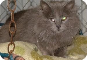 Domestic Longhair Cat for adoption in Savannah, Missouri - Panama