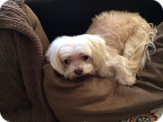 Maltese/Lhasa Apso Mix Dog for adoption in Manteca, California - Howie