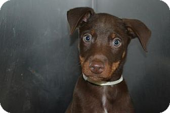 Doberman Pinscher Mix Dog for adoption in Edwardsville, Illinois - Poe