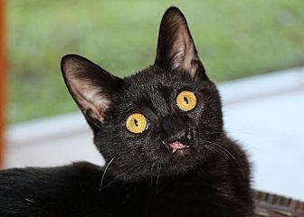 Domestic Shorthair Cat for adoption in Estero, Florida - Remington