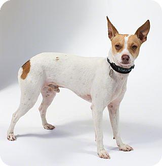 Rat Terrier/Chihuahua Mix Dog for adoption in Santa Barbara, California - Ren